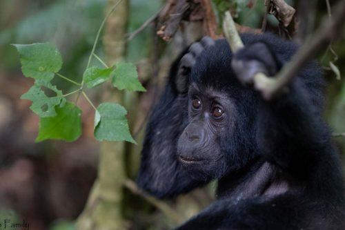 Gorilla Tracking Safari in Uganda