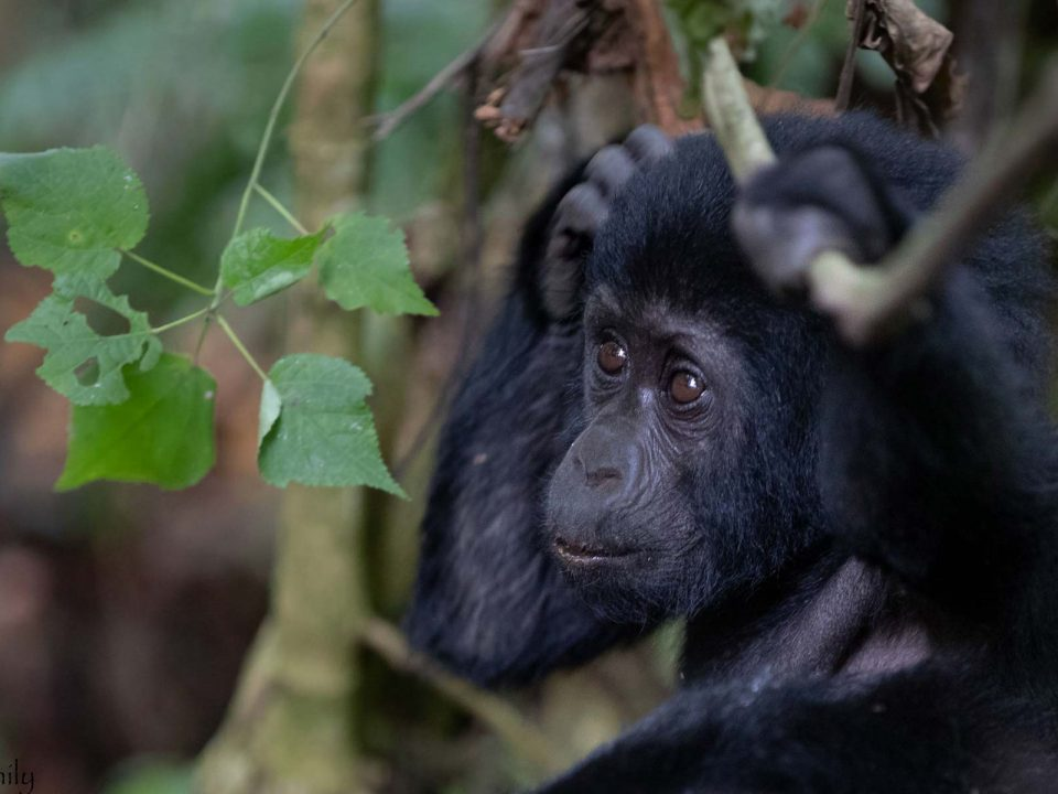 Gorilla Tracking Safari in Uganda