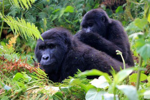 4 Day Rwanda Gorillas & Chimpanzee Trekking