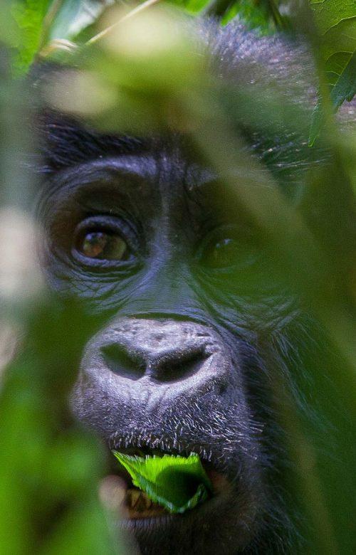 6 Day Highlights of Rwanda & Uganda Safari