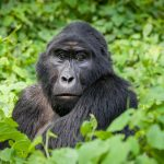 4 Day Gorilla Safari in Bwindi