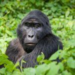 4 Day Gorilla Safari in Bwindi