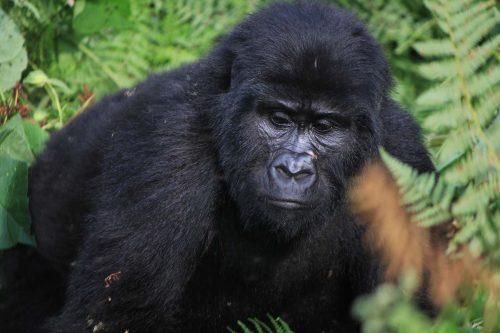 gorilla trek in bwindi Forest