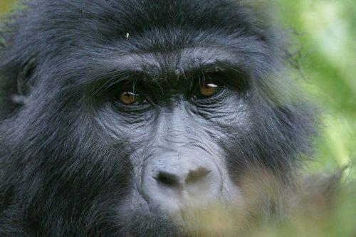 Gorilla Trekking in Uganda and Rwanda, Gorilla Tracking Tours