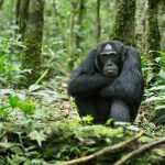 6 Day Chimpanzee Tracking & Wildlife Safari