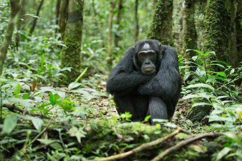 6 Day Chimpanzee Trekking & Wildlife Safari
