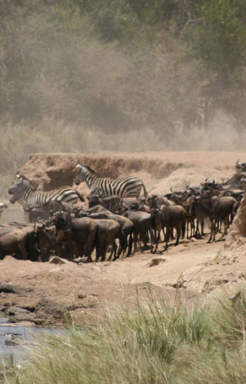 The great wildebeest migration safaris