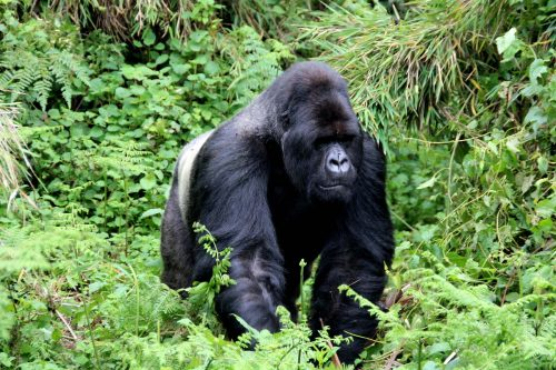 Gorilla Trekking, Tracking Mountain gorilla silverback
