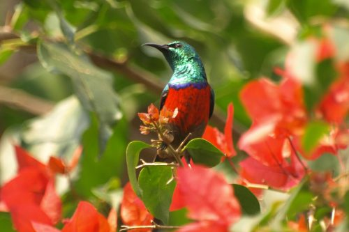 blue brested Sunbbird
