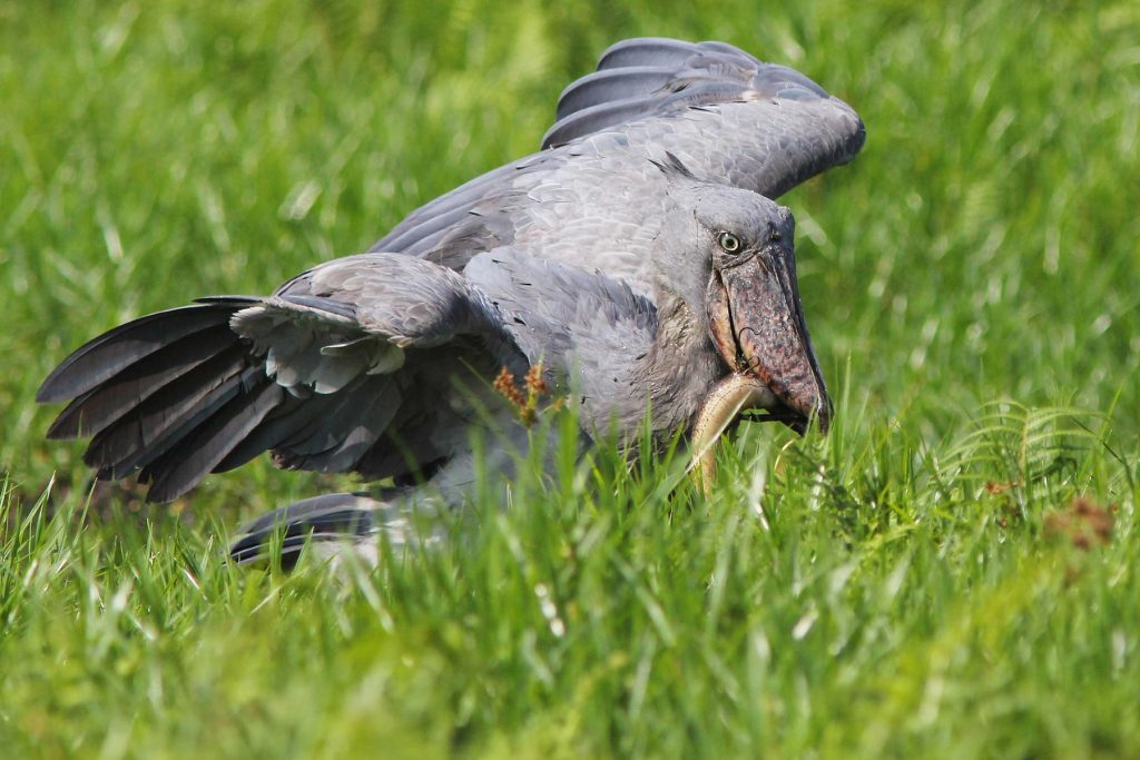 shoebill - Birding in East Africa