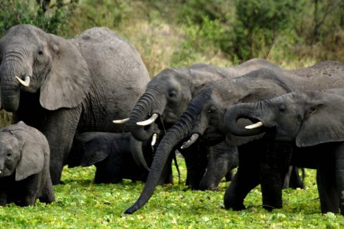 Elep[hants in Tarangire National Park