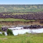 wildebeests migration in serengeti