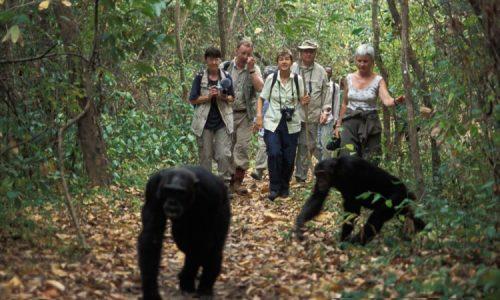 3 days chimpanzee trekking